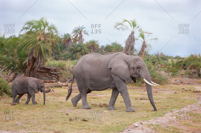 Elephants go across the road, on safari in Kenya