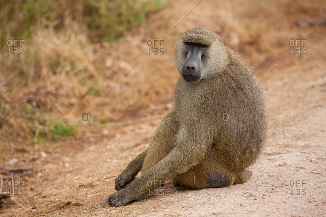 Monkey is sitting on the road, baboon, on safari in Kenya