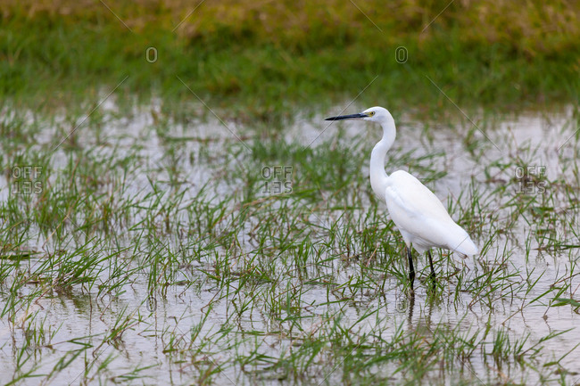 White bird is standing in the water, on safari in Kenya