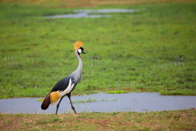Bird is walking in the swamp in Kenya