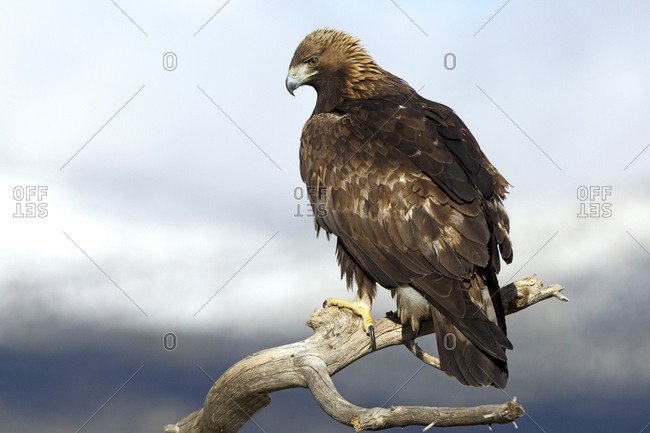 Adult male of Golden eagle. Aquila chrysaetos