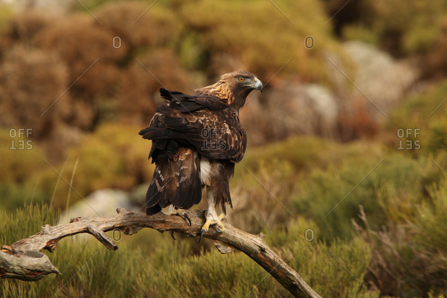Old male of Golden eagle. Aquila chrysaetos