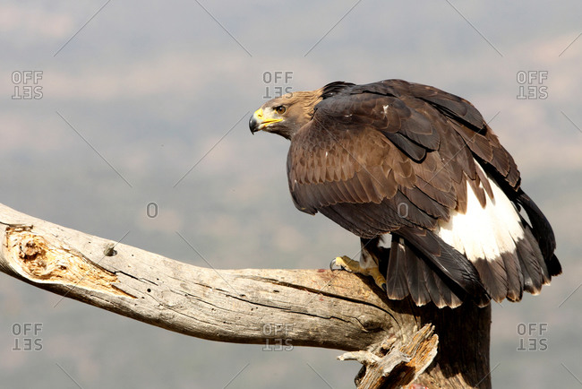 Young female of Golden Eagle, Aquila chrysaetos
