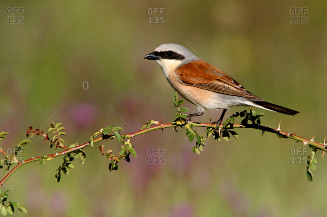 Adult male of Red-backed shrike, birds, Lanius collurio