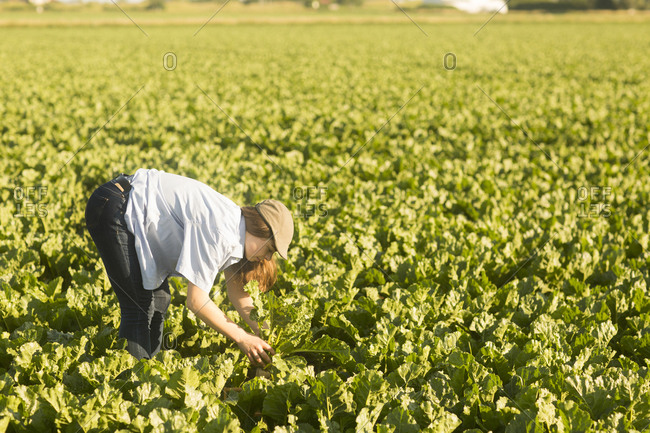 Farmer woman checking  vegetables  in a field