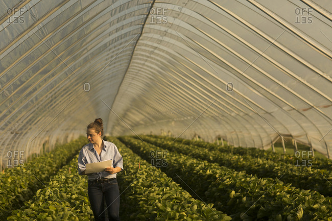 Farmer woman checking  fruits in a glasshouse