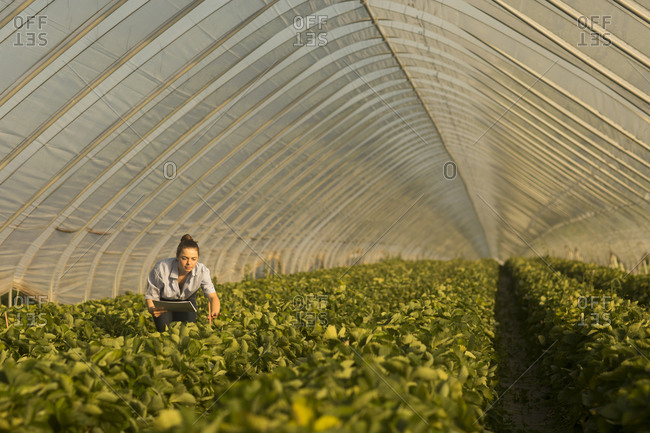 Farmer woman checking strawberries in a glasshouse
