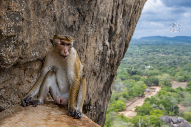 Toque macaque monkey in Sigirya / Sri Lanka
