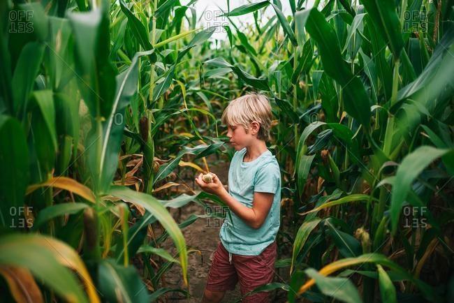 Boy standing in a field picking corn, USA