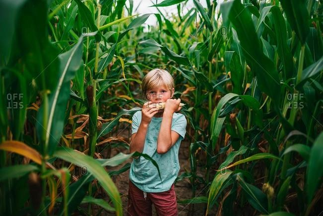 Boy standing in a corn field eating a corn cob, USA
