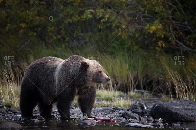 Grizzly bear eating a fish, Chilko Lake, British Columbia, Canada