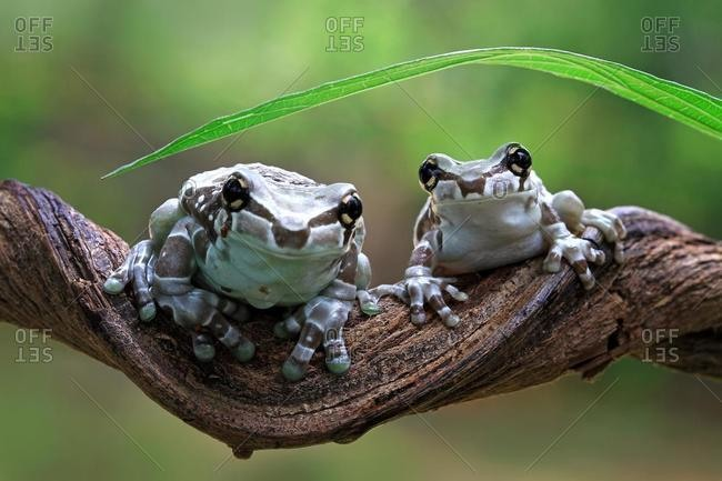 Two mission golden-eyed tree frogs on a branch, Indonesia