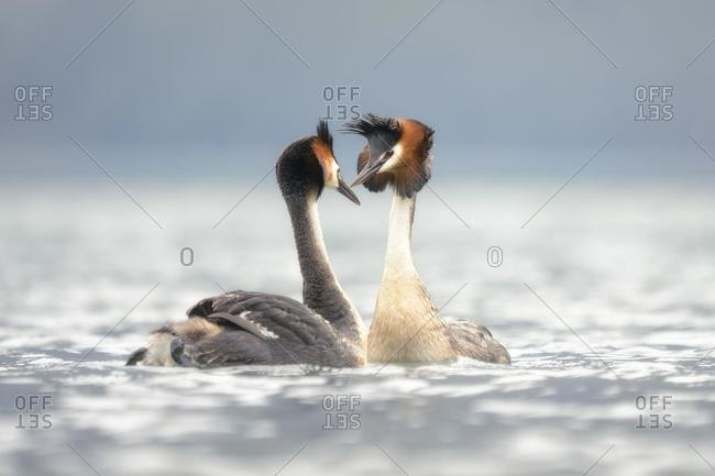 A pair of great crested grebes on a lake looking at each other, South Island, New Zealand