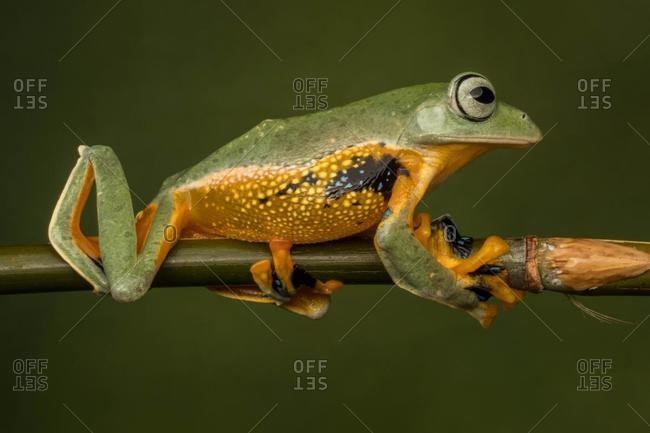 Close-up of a Javan tree frog on a branch, Indonesia