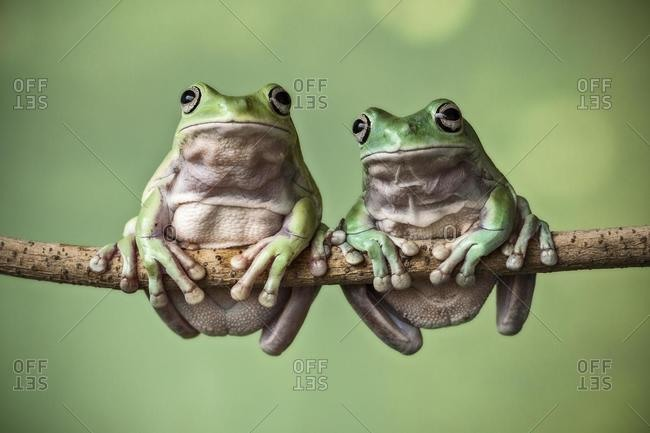 Two dumpy tree frogs sitting on a branch, Indonesia