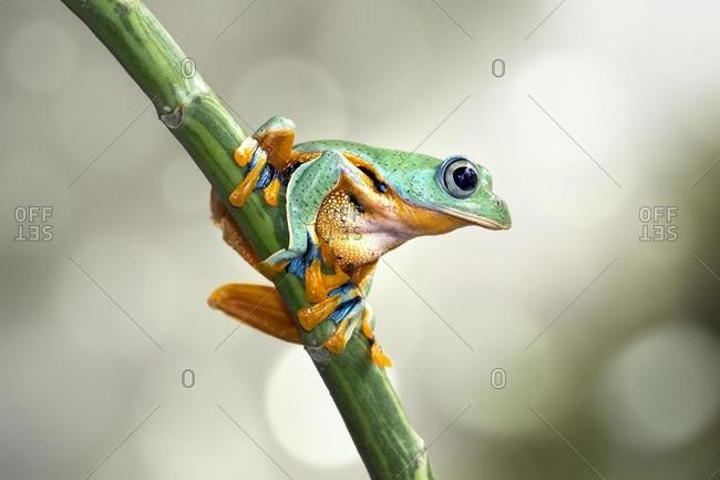 Javan tree frog on a plant, Indonesia