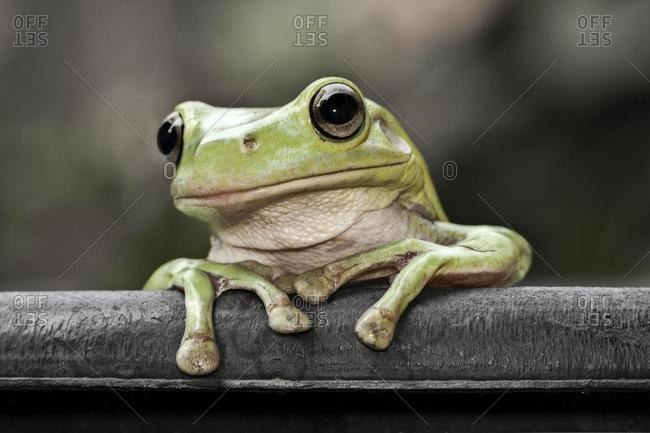 Portrait of a dumpy tree frog, Indonesia
