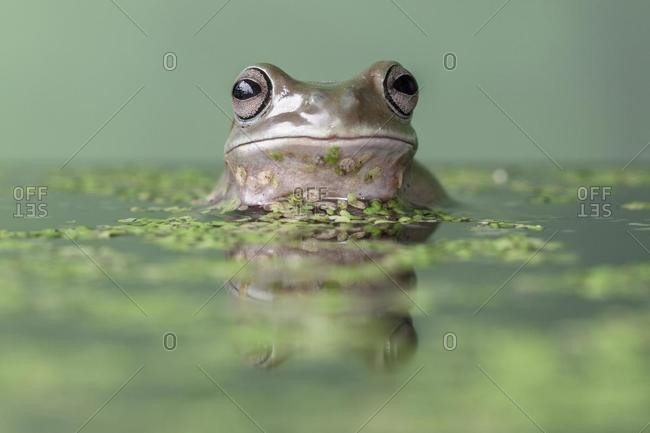 Dumpy tree frog in a duckweed pond, Indonesia