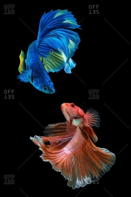 Two betta fish looking at each other