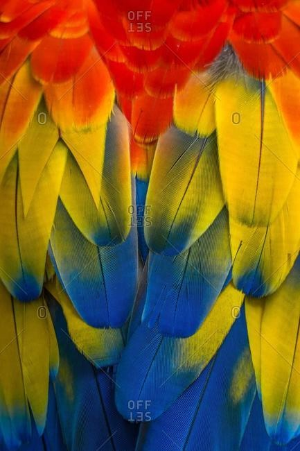 Close-up of a macaw's plumage, Indonesia