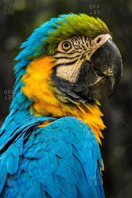 Close-up portrait of a macaw, Indonesia