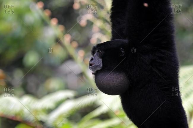 Portrait of a Siamang monkey swinging in a tree, Indonesia