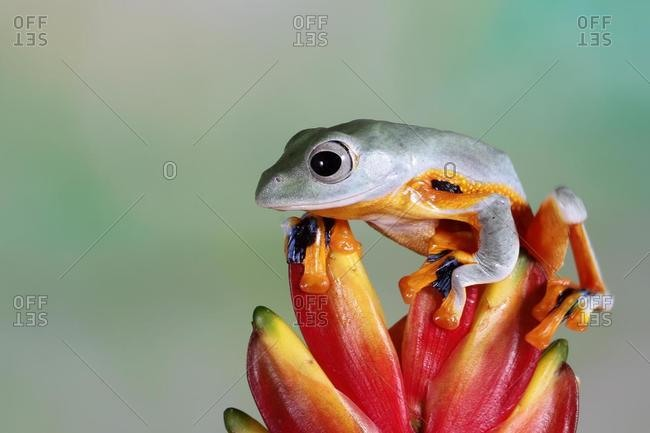 Javan tree frog on a flower bud, Indonesia