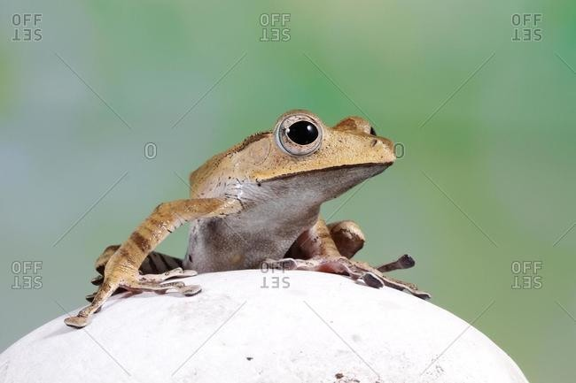 Borneo Eared tree frog on a rock, Indonesia