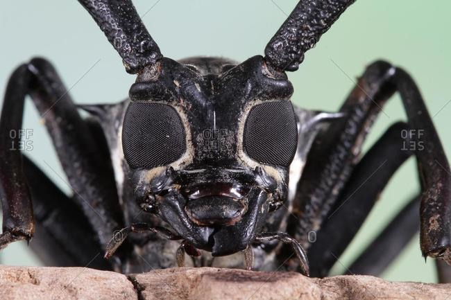 Portrait of an Asian Long-horned beetle, Indonesia