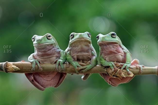 Three Australian green tree frogs on a branch, Indonesia