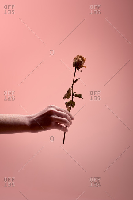 Unrecognizable person demonstrating dried rose with delicate petals against pink background