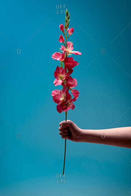 Unrecognizable person showing stem with fresh vivid flowers against blue background