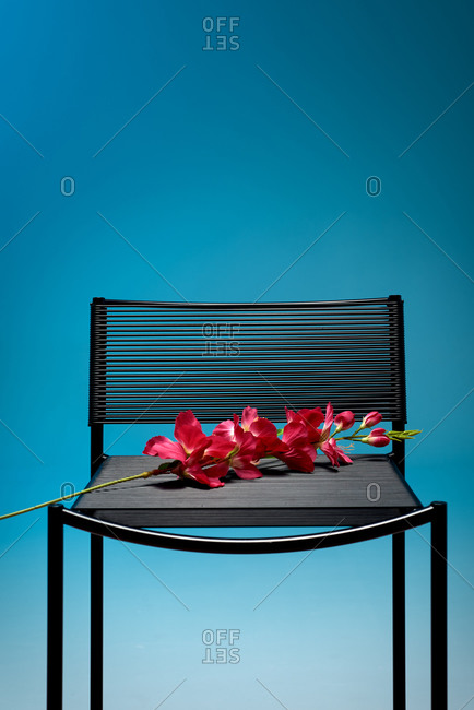 Vibrant fresh flower placed on modern black chair against blue background