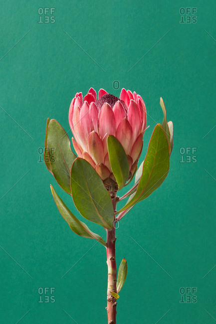 Congratulation card for different holidays with freshly picked beautiful protea flower and green leaves on a emerald green background, copy space.