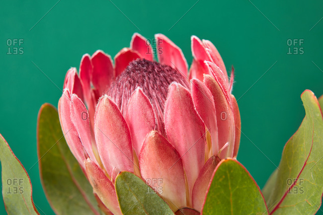 Close-up view of beautiful freshly picked protea flower and big green leaves on a emerald green background, copy space. Invitation card.
