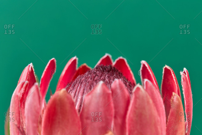 Invitation card from fresh natural close up petals of protea flower on a emerald green background with copy space.