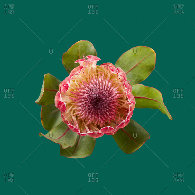 Congratulation card with one freshly picked natural protea flower on a emerald green background, copy space. Top view.