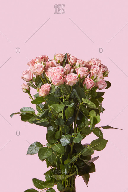 Romantic greeting card with freshly picked tender pink roses flowers on a pastel pink background, copy space.