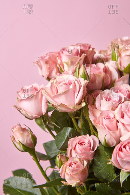 Vertical greeting card with freshly picked natural organic pink roses flowers on the same color background, copy space.