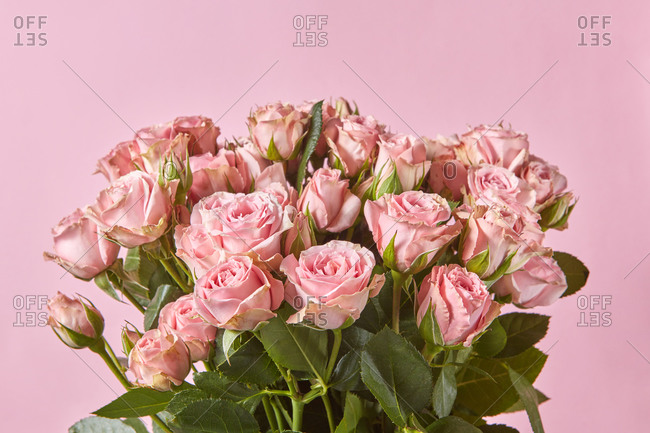 Greeting romantic card with freshly picked natural pink roses flowers on a pastel pink background, copy space.