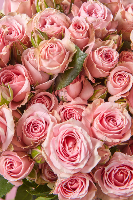 Natural blooming background from fresh natural organic pink roses flowers. Top view. Congratulation card.