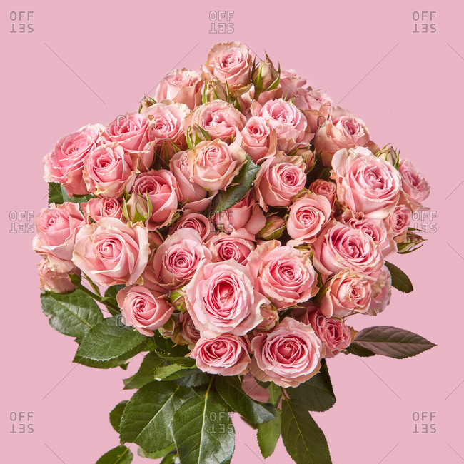 Festive greeting card from fresh natural organic pink roses flowers on a pastel pink background with copy space.