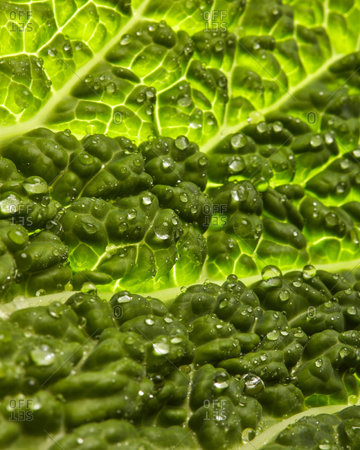 Natural macro view background from textured green organic salad leaf with droplets of water on surface. Vegetarian heathy dieting food.