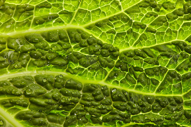 Close-up textured green leaf with water drops of fresh natural organic salad plant for cooking vegetarian healthy food. Vegan heathy dieting eat concept.