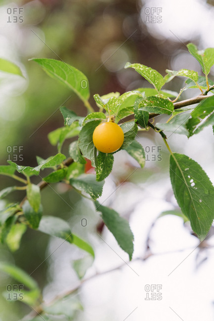 A single lemon growing on a tree branch