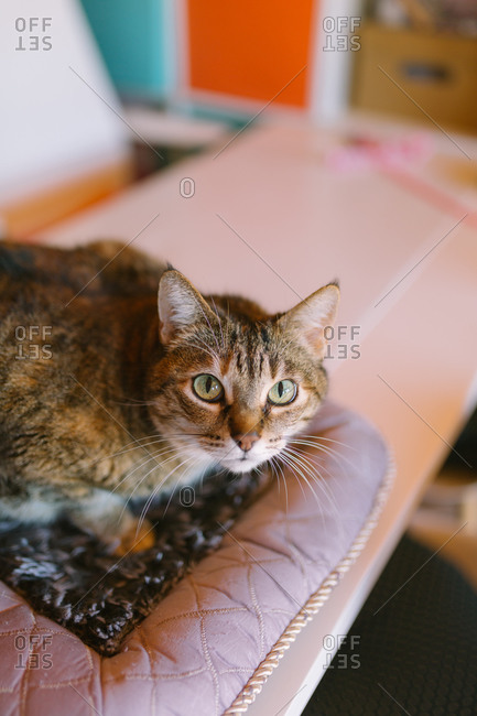 Close up of a house cat relaxing on a pet bed