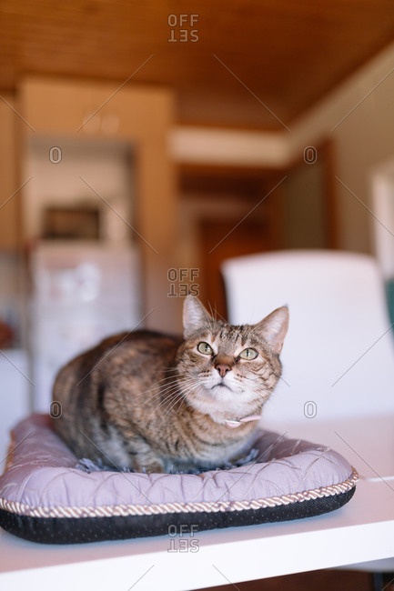 A house cat relaxing on a pet bed