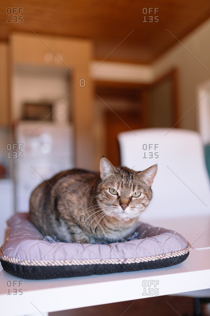 House cat relaxing on a pet bed