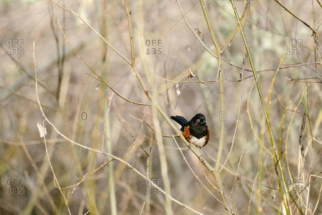 Spotted towhee bird sitting alone on a branch