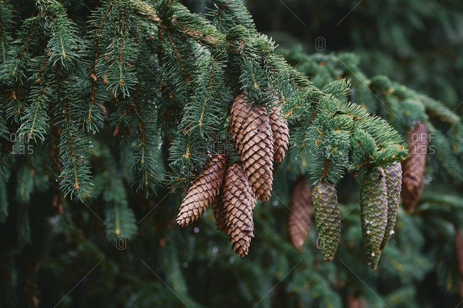 Bulgaria- Close-up of pine cones in Autumn
